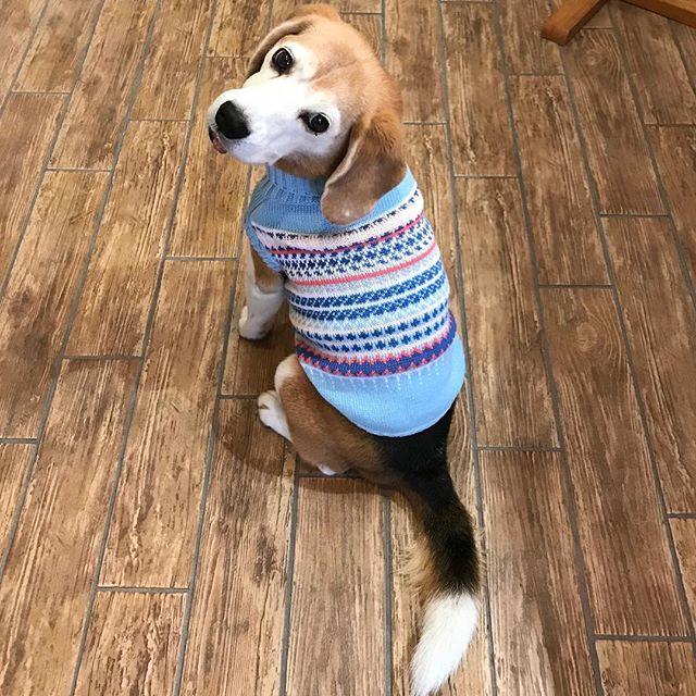 買っちゃいました【La Shicu ゲリラショップ】絶賛、開催中❣️コタもお気に入りのLa Shicコットンセーターブルーをゲットヨット柄のセーターとデニムスカートを合わせ着こなすナナちゃん、モカちゃんそして!今回だけの【特別価格】で販売されるラグジュアリーベッド。オススメのカラーはシックなレッド。なんと!わんちゃん柄なんです️どんなわんちゃんも寝落ち確実なラグジュアリーベッド。やっぱり、凄くイイ❣️・薬膳ごはん(冷凍)の販売と大人気のフード・きらきらぼくらのなみだごはん・もりもりぼくらのげんきごはん試食会も開催しまーす 今日はドッグライフコーディネーターの國田裕理さんが登場!わんこの薬膳・豚肉と白木耳の豆乳リゾット・鶏肉と当帰のほっこりスープスープは試食をご用意しています!ここでしか出会えないたくさんのアイテムをご用意してみなさまのお越しをお待ちしております️#LaShicゲリラショップ#気になるカフェcocoro cocoro#新名神川西icすぐ#アニマルコミュニケーターsachiko#わんちゃんもご一緒にどうぞ#お待ちしております (Instagram)