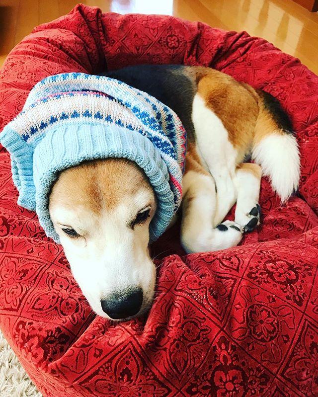 カワウソになった理由コタにセーターを着せたいのですが…いつもならすんなり着てくれます。もちろん体調が優れないのでもなく寝不足でもごさいません。理由はひとつラグジュアリーベッドの寝心地が良すぎるからこのベッドに変えてから睡眠の質が良くなってます#LaShic#ラグジュアリーベッド#寝心地良すぎ#看板犬#虎太郎#カワウソになる#わんこのヒーリングスペースtalkwithcocoro#アニマルコミュニケーションtalkwithcocoro#アニマルコミュニケーターsachiko (Instagram)