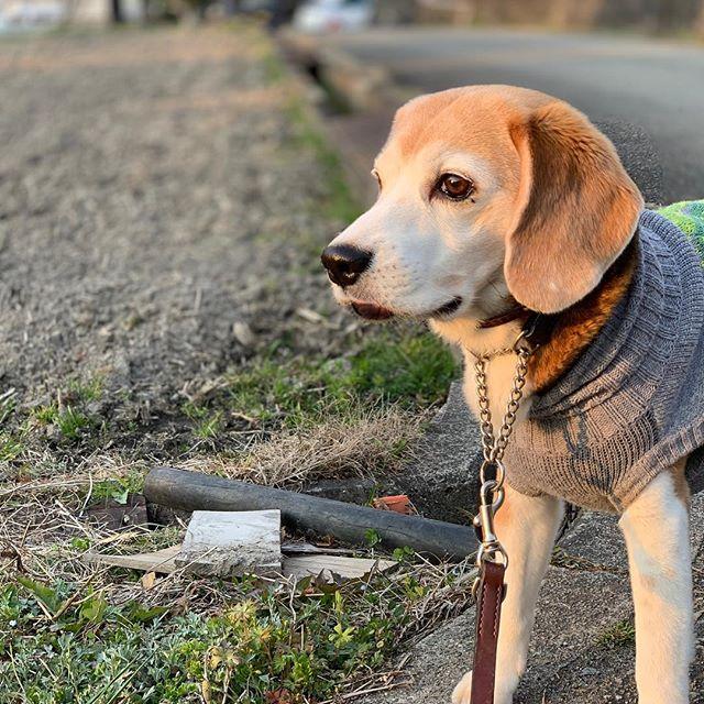 土筆、見っけお散歩をしていたら土筆を見つけました。コタも何かを見つけたようです#ビーグル#看板犬#虎太郎#土筆 (Instagram)