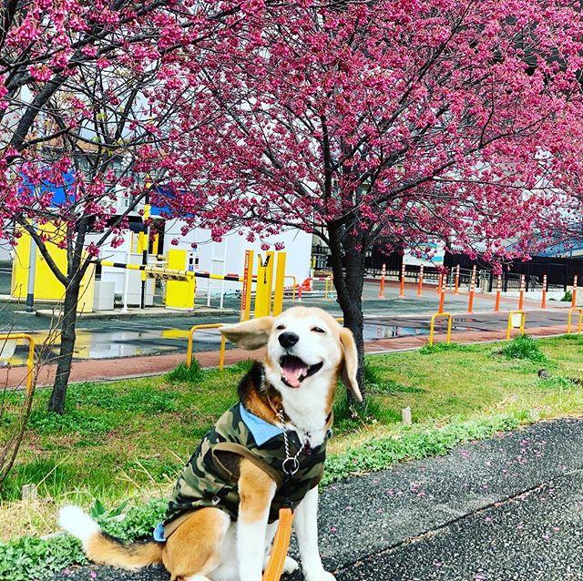 ゴキゲンさん今日はしつけ教室のお散歩トレーニング。コタは今日もゴキゲンさん私はわんちゃんの通訳でみなさんをサポートみんなで楽しくお散歩しましたよ。#ビーグル#虎太郎#看板犬#お散歩トレーニング#犬の社会化#アニマルコミュニケーションtalkwithcocoro (Instagram)