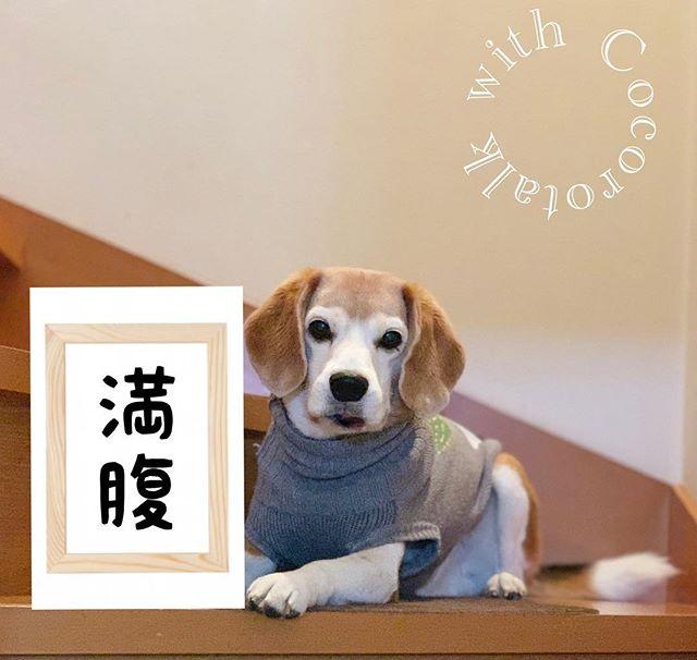 新元号は…ボクの考えた新元号は満腹ですっ#新元号#看板犬#虎太郎#アニマルコミュニケーターsachiko (Instagram)