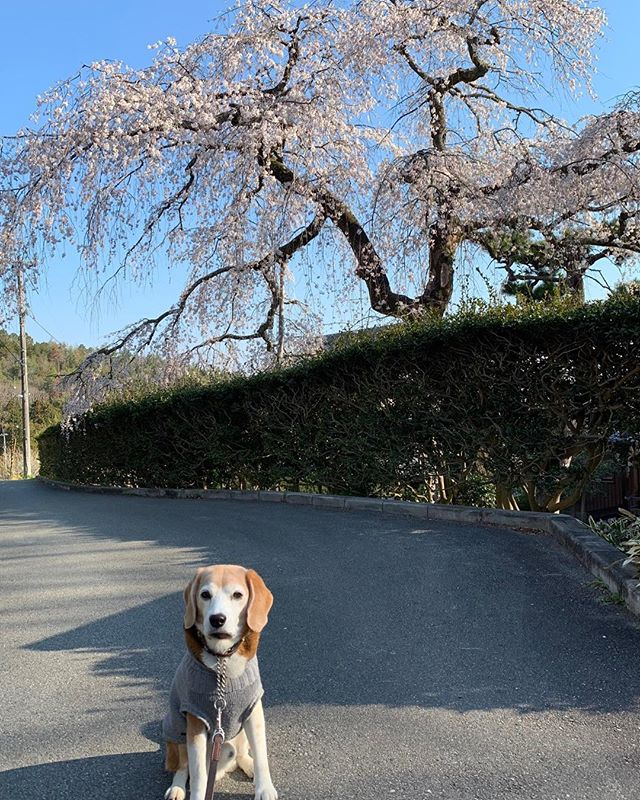 樹齢300年の…高原寺のエドヒガンザクラは樹齢300年を超えているそうです。高さ20メートルを超す大きな枝垂れ桜です。優しくて雄大なエネルギーが大好きで毎年、虎太郎とこの桜に会いに来ます#あさんぽ#いぬすたぐらむ#高原寺の枝垂れ桜#看板犬#虎太郎#アニマルコミュニケーターsachiko (Instagram)