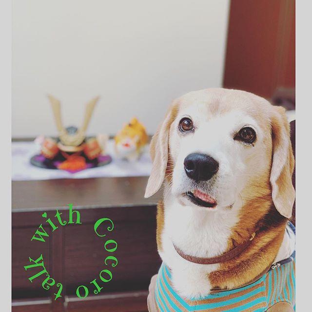 こどもの日我が家のおぼっちゃま。今日はこどもの日なのでちまきを召し上がり…毎日、毎日チヤホヤされてゴキゲンのようです🤣#わんこは我が子#犬好きさんと繋がりたい#ビーグル#虎太郎#アニマルコミュニケーターsachiko (Instagram)