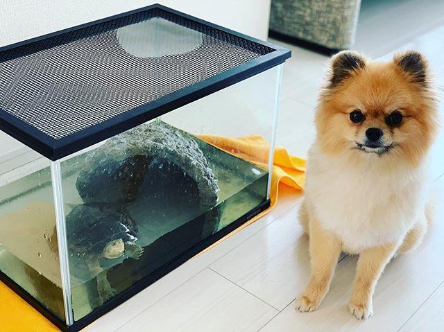 犬でも亀でも今日は大阪市内へ出張セッションと口内ケアレッスン。明日、手術を控えたわんちゃんと美人亀さんにアニマルコミュニケーションをさせていただきましたわんちゃんは口内ケアのレッスンです。とっても良い子で頑張ってくれました#アニマルコミュニケーターsachiko #出張セッション#アニマルコミュニケーション#犬と亀#須崎動物病院口内ケアセット#口内ケアレッスン (Instagram)