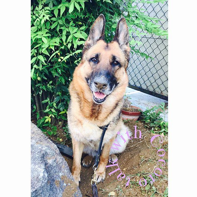 警察犬の想いアニマルコミュニケーション体験セッションにお申し込みいただいた嘱託警察犬のわんちゃん。お仕事では素晴らしい活躍をしているそうです️お家に帰るとフツーのわんちゃんと変わりなく飼い主さんに甘えたり 犬の素晴らしさを改めて感じました。詳しくはblogにてhttps://ameblo.jp/talkwith/entry-12479138806.html#アニマルコミュニケーション#体験セッション#警察犬#ジェパード#わんこのヒーリングスペースtalkwithcocoro#アニマルコミュニケーターsachiko#いつもありがとうございます (Instagram)