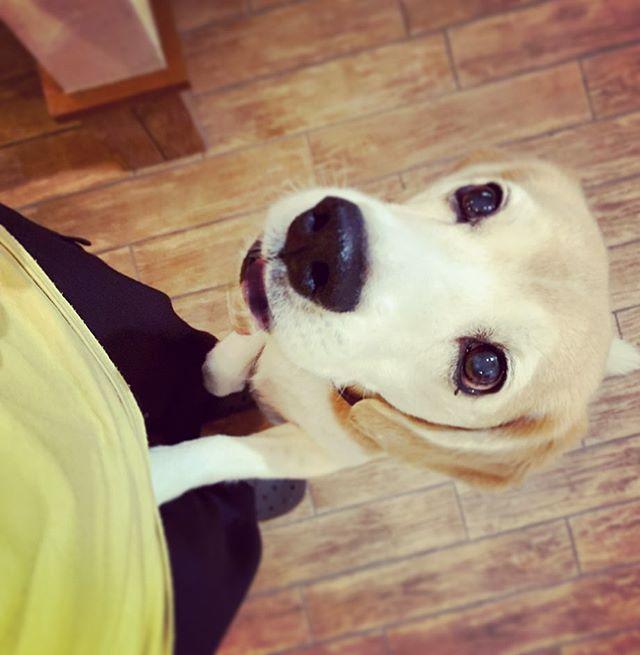 必殺技ちゃーちゃんそれ、ちょうだ〜い瞳を輝かせ甘えてくる…おねだりの時は特に可愛いわんこの持っている必殺技にはかないませんねー#犬との暮らし#わんこのいる暮らし#ビーグル#おねだり#虎太郎#アニマルコミュニケーターsachiko (Instagram)