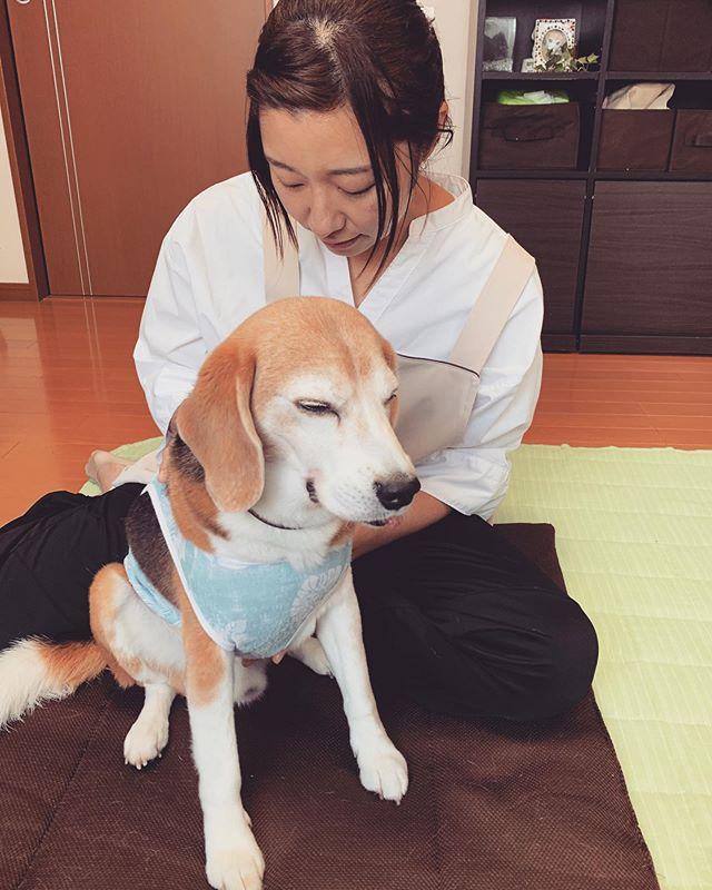 気持ちよか〜元動物看護師犬の整体師Yukiさんが@inuseitai.kobe 来てくださいました️人見知りの虎太郎が自ら背中を向けて心地よさにうっとり🥰Yukiさんと飼い主さんができるマッサージ講座をしよう!と計画をしておりますどうぞ、お楽しみに️#犬の整体師#歩くいぬ#わんこのヒーリングスペースtalkwithcocoro (Instagram)
