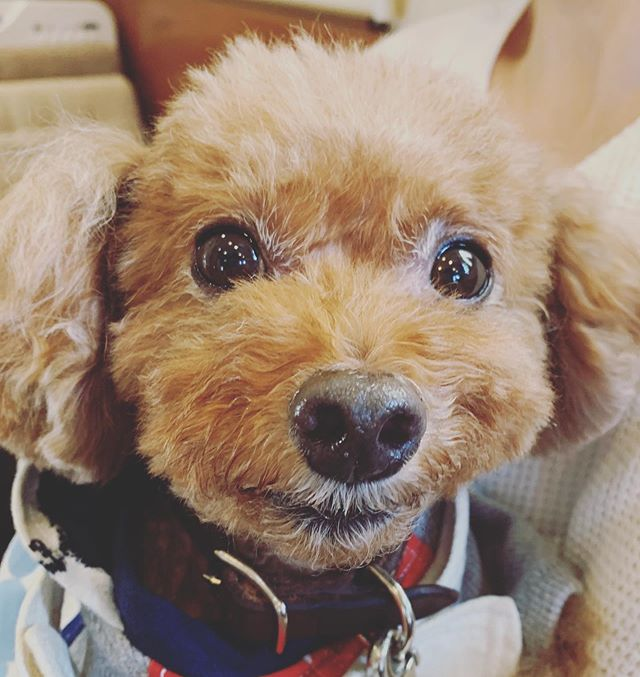 キラキラの瞳ペットヒーリングに来てくれたトイプードルのレオンくんヒーリングの後はキラキラした瞳になりますこれからも元気いっぱいに過ごして欲しいからエネルギー状態も整えてあげたいですね🥰お知らせアニマルコミュニケーションを活用してペットさんと飼い主さんが健康で幸せになれるお手伝いをしませんか?【ペットライフコミュニケーター養成講座】アニマルコミュニケーションだけでなくしつけ、ケア、ヒーリング食事のことまで学べるオールインワンオンリーワンのカリキュラムです。詳しくはhttps://ameblo.jp/talkwith/entry-12542469019.html#アニマルコミュニケーション#ペットライフコミュニケーター#上恵野倖子 (Instagram)