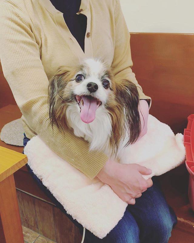 ヒーリングで心も元気病気で片脚を切断したパピヨンのゆきちゃん。ペットヒーリングに通ってくれています。もちろん、病気のことは獣医さんにお任せですが心のケアにとヒーリングを取り入れてくださっています。わんちゃんが少しでも快適に過ごせるようにさまざまな選択肢があれば飼い主さんも安心ですね。#ペットヒーリング#バイオレゾナンストリートメント#ペットライフコミュニケーター #上野野倖子 (Instagram)